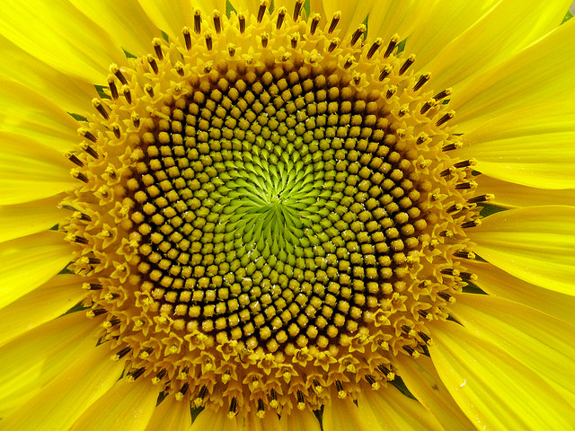 Image result for The spiral shapes of sunflowers follow the Fibonacci sequence.
